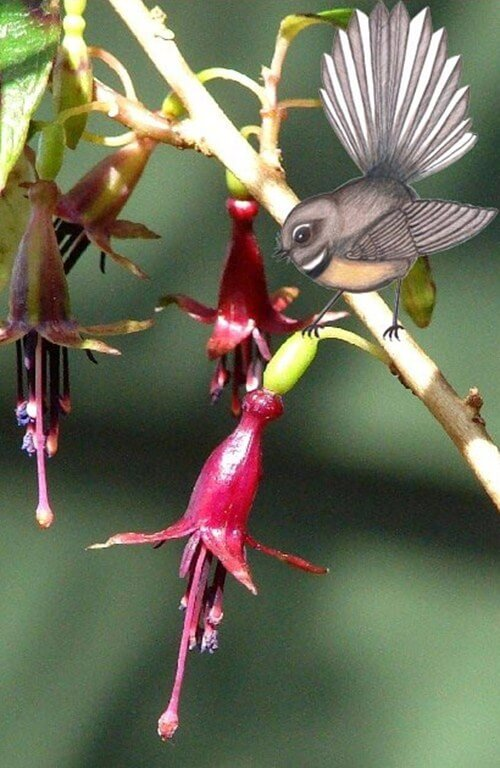 Photo of a fuchsia tree with a fantail diagram superimposed